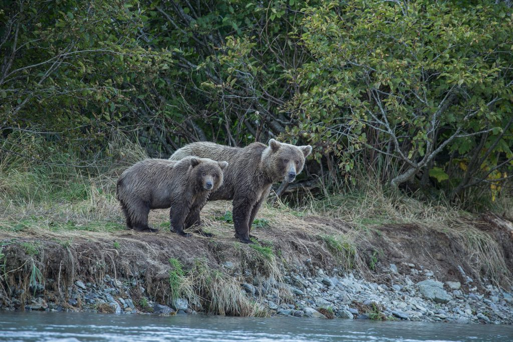 brown_bears-10