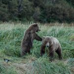 brown_bears-11