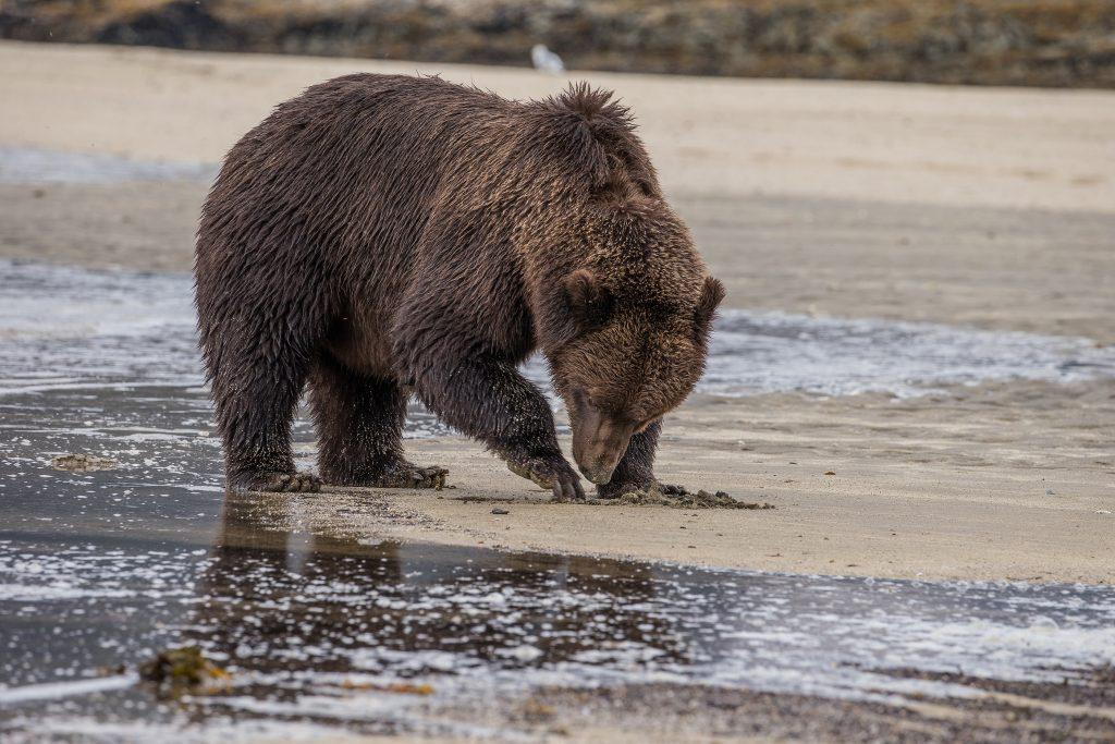 brown_bears-12