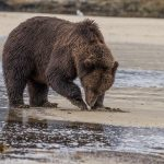 brown_bears-12