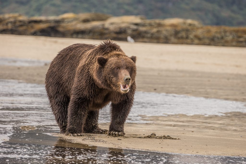 brown_bears-13