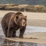 brown_bears-13