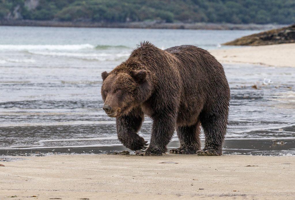 brown_bears-14