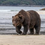 brown_bears-14