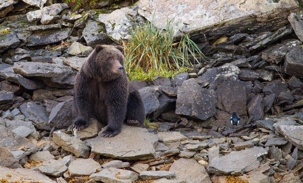 brown_bears-15
