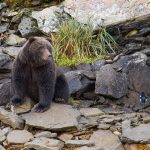 brown_bears-15
