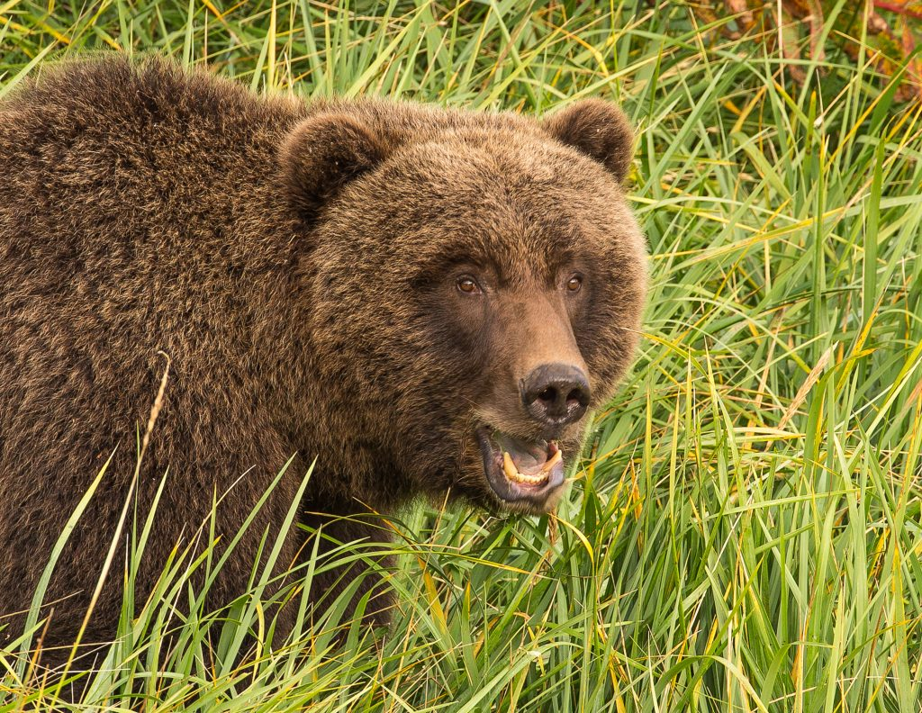 brown_bears-2