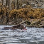 brown_bears-3