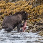 brown_bears-4