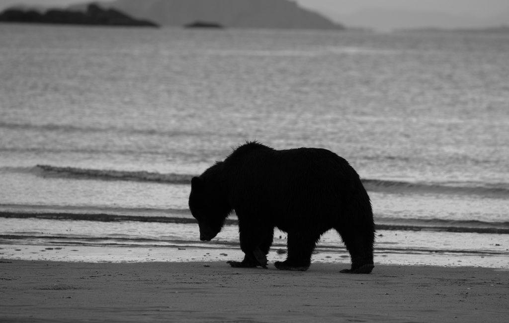 brown_bears-5
