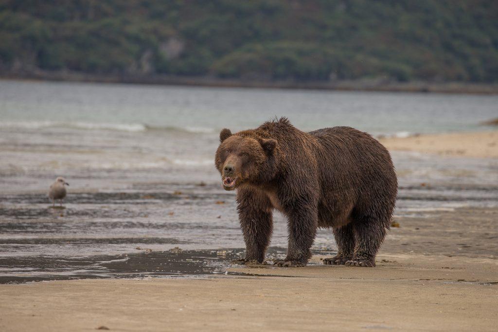 brown_bears-6