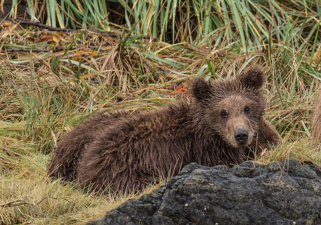 brown_bears-7