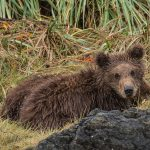 brown_bears-7