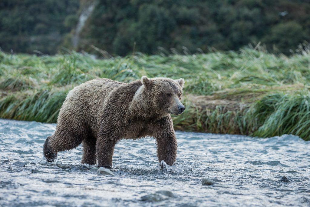 brown_bears-9