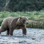 brown_bears-9